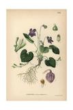 Wood Violet, Viola Odorata Giclee Print