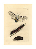 Giant Leopard Moth, Hypercompe Scribonia Giclee Print by Richard Polydore Nodder
