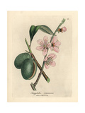 Pink Flowered Almond Tree, Amygdalus Communis Giclee Print by James Sowerby