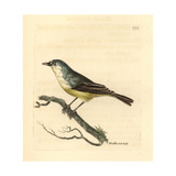 Cape Penduline-Tit, Anthoscopus Minutus Giclee Print by Richard Polydore Nodder