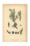Juniper, Juniperus Communis Giclee Print
