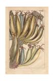 Banana Fruit, Musa Paradisiaca Giclee Print