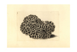 Larger Star Coral, Favites Abdita Giclee Print by Richard Polydore Nodder