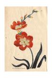 Saffron-Coloured Ixia, Ixia Crocata Giclee Print