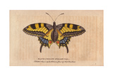 Black and Yellow Swallowtail ButterflyPapilio Machaon Giclee Print