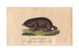 African Coast Rat, Cape Mole Rat, African Mole Rat or Sand MoleGeorychus Capensis Giclee Print