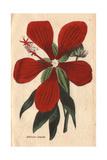 Superb Hibiscus, Hibiscus Speciosus Giclee Print