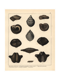 Fossils of Extinct Sea Snails Giclee Print