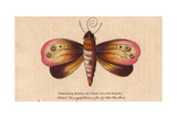 Emperor Moth of New South WalesOpodiphthera Eucalypti or Syntherata Janetta Giclee Print