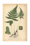 Long Beech Fern, Phegopteris Connectilis Giclee Print