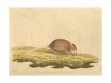 Striped Grass Mouse, Lemniscomys Striatus (Mus Striatus) Giclee Print