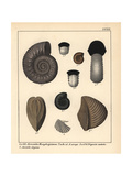 Extinct Fossil Gastropods Giclee Print