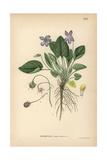 Hairy Violet, Viola Hirta Giclee Print