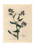 Dyer's Bugloss Giclee Print by James Sowerby