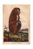 Mandrill (Mandrillus Sphinx) Giclee Print