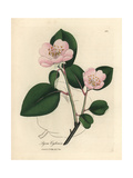 Pink Flowered Quince Tree, Pyrus Cydonia Giclee Print by James Sowerby