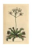 Venus Flytrap, Dionaea Muscipula Giclee Print