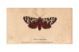 Great Tiger Moth (Or Garden Tiger Moth) Arctia Caja Giclee Print