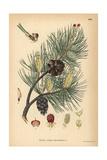 Scots Pine Tree, Pinus Sylvestris Giclee Print