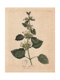 Lemon Balm, Melissa Officinalis Giclee Print by James Sowerby