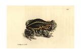 Natterjack Toad, Epidalea Calamita Giclee Print by Richard Polydore Nodder