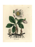 White Flowered Black Hellebore or Christmas Rose, Helleborus Niger Giclee Print by James Sowerby