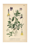 Heartease, Viola Tricolor, and Field Pansy, Viola Arvensis Murr Giclee Print