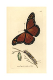 Viceroy Butterfly, Limenitis Archippus Giclee Print by Richard Polydore Nodder