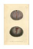 Edible Sea Urchin, Echinus Esculentus Giclee Print