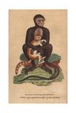 Middle Sized Black Monkey (Langur)Cercopithecus Maurus Giclee Print