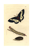 Willowherb Hawkmoth, Proserpinus Proserpina Giclee Print by Richard Polydore Nodder