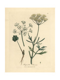 White Flowered Anise, Pimpinella Anisum Giclee Print by James Sowerby