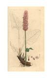 Bistort or Snakeweed, Persicaria Bistorta Giclee Print by James Sowerby