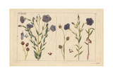 Blue Flowered Flax, Linum Usitassimum Giclee Print