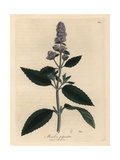 Purple Flowered Peppermint, Mentha Piperita Giclee Print by James Sowerby