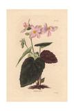 Begonia PictaPale Pink Begonia Giclee Print