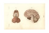 Cross Sections Through the Brain Giclee Print