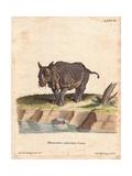 Indian Rhinoceros or Greater One-Horned Rhino, Rhinoceros Unicornis, Vulnerable Giclee Print