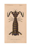 Olive-Green and Purple Striped Giant Mantis Shrimp (Squilla Maculata) Giclee Print