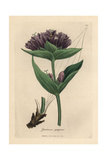 Purple Gentian, Gentiana Purpurea Giclee Print by James Sowerby