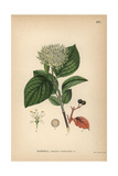 Common Dogwood, Cornus Sanguinea Giclee Print