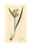 Yellow Star of Bethlehem, Ornithogalum Luteum Giclee Print by James Sowerby