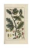 English Oak Wydruk giclee