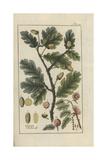 English Oak Giclee Print