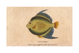 Angel Fish or Monk Fish Pomacanthidae Giclee Print