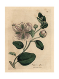 White Flowered Caper Bush, Capparis Spinosa Giclee Print by James Sowerby