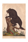 Black Bear Attacked by Bees as it Attempts to Take Honey Giclee Print