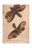 Lanthorn Fly or Lantern Fly in its Luminous StateFulgora Lanternaria Giclee Print