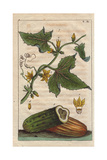 Common Cucumber with Yellow Flowers, Fruit, Cucumis Sativus Giclee Print