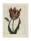 Admiral Van Enkhuizen Tulip Giclee Print